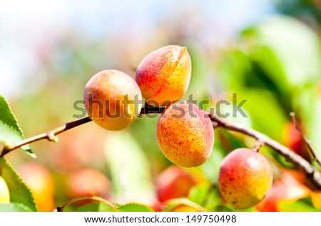 Ripe apricots on a branch among green leaves in summer - stock photo