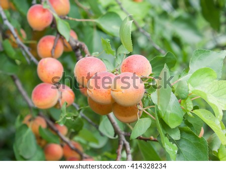 Ripe apricots on a tree branch - stock photo