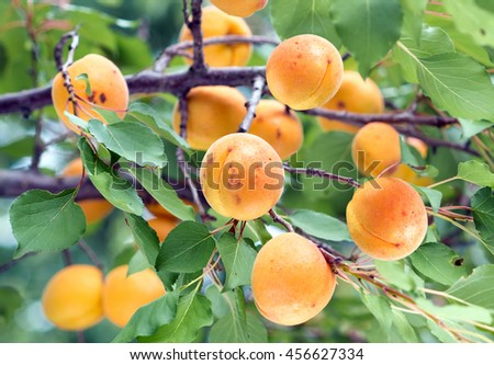 Ripe apricots on a tree branch. - stock photo