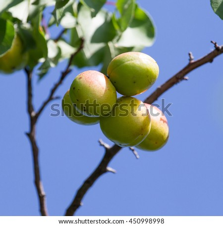 ripe apricots on the tree in nature