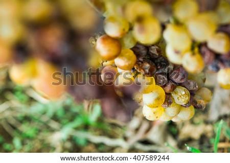 Ripe autumn grape close up - stock photo