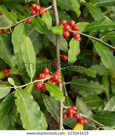 Ripe Autumn Olive Berries (Elaeagnus Umbellata) growing on a branch - stock photo