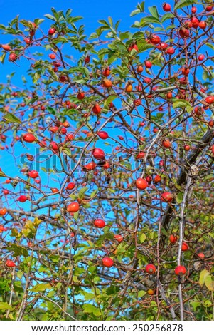 Ripe berries of rosehip against blue sky in the October garden. - stock photo