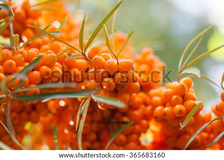Ripe berries of sea buckthorn - stock photo