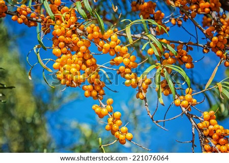 Ripe berries of sea-buckthorn under blue sky - stock photo