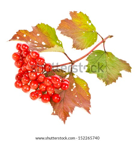 ripe berries of Viburnum on a branch with autumn leaves isolated on white background