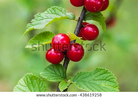 ripe berry, Chinese cherry on a branch - stock photo