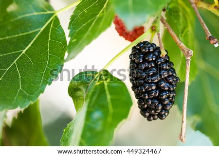 ripe black berry on Morus tree (black mulberry, blackberry, Morus nigra) close up in sunny day