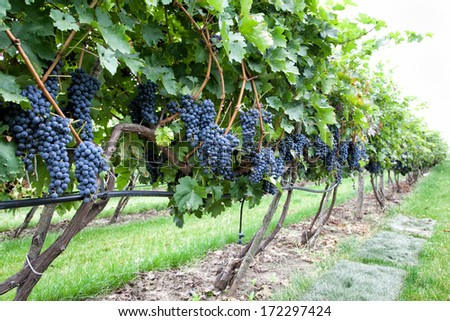 Ripe black grapes on vine with selective focus  - stock photo