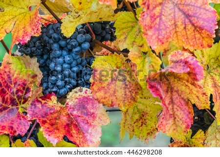 Ripe blue grapes on a branch with drops of dew, autumn vineyard, selective focus - stock photo