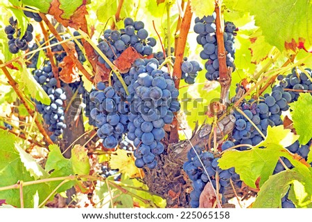 Ripe blue grapes on a tree in a vineyard in Portugal - stock photo