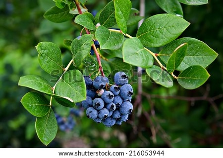 ripe blueberries on blueberry bush - stock photo