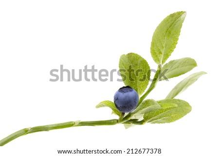 Ripe Blueberry on twig on white background - stock photo