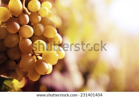 Ripe bunch of white grapes on vine closeup - stock photo