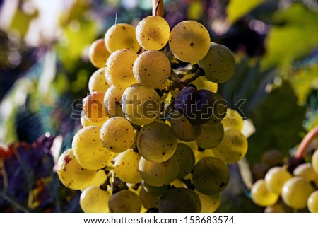 Ripe bunch of yellow grapes  - stock photo