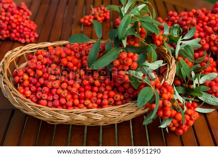 Ripe bunches of rowan berries in a wicker basket. Photographed outdoor in sunny day.