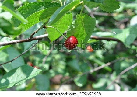 Ripe cherry on a tree with raindrop - stock photo