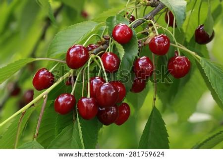 Ripe Cherry on the Branch - stock photo