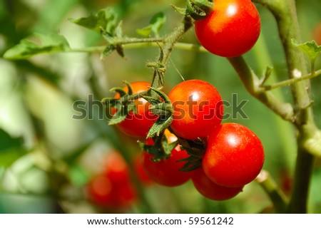 ripe cherry tomato in  garden bed close up - stock photo