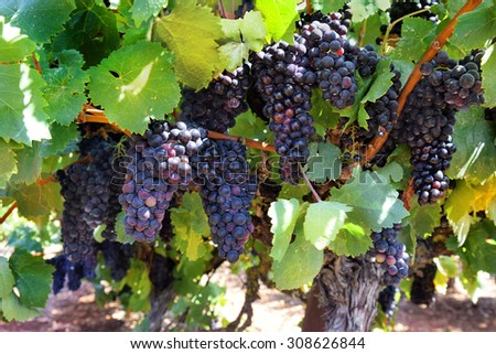 ripe clusters of sweet red grapes Isabella - stock photo
