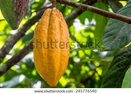 Ripe cocoa pod on a cacao tree in Mindo, Ecuador - stock photo