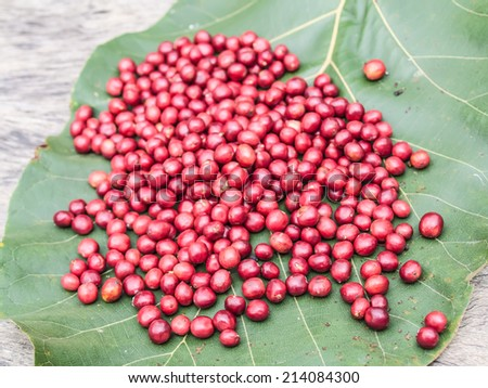 Ripe coffee beans on big green leaf background.