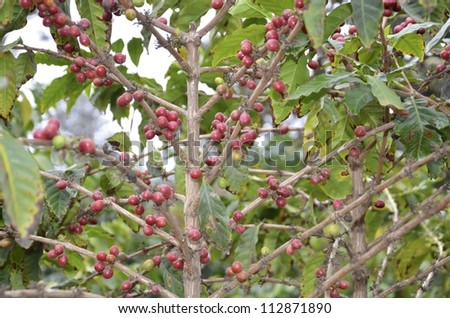 Ripe coffee beans on the plant. - stock photo