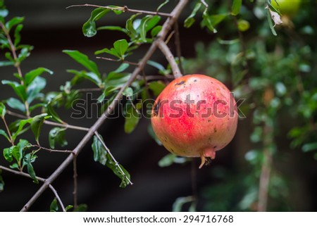 Ripe Colorful Pomegranate Fruit on Tree Branch. The Foliage on the Background - stock photo