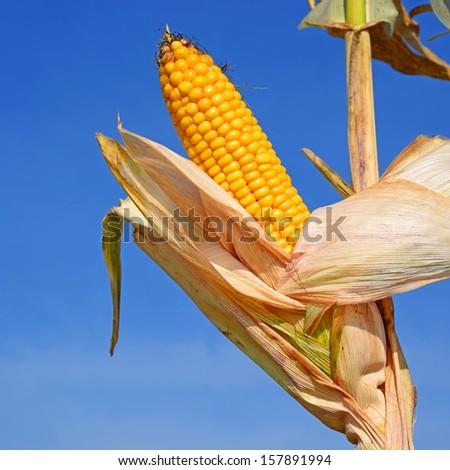 Ripe corn. - stock photo