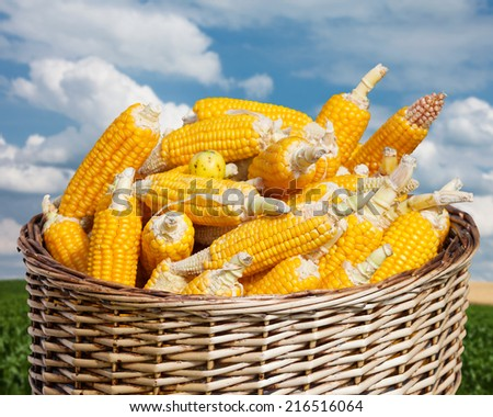 ripe corn in basket on blue sky and agricultural field - stock photo