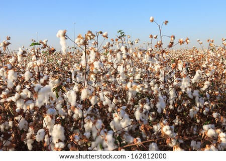 Ripe cotton on field with ripe cottons bush under blue sky - stock photo