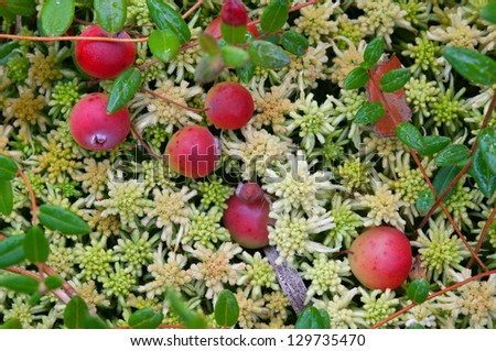 Ripe cranberry on a moss hummock on a bog. - stock photo