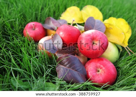 Ripe cultivar apples with autumn leaves on the lawn in the autumn garden