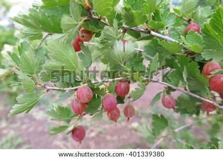 Ripe cultivar gooseberry (Ribes uva-crispa) berries in the summer garden - stock photo
