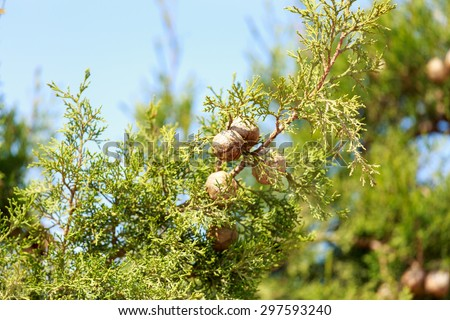 Ripe cypress cones on a tree on blurred background - stock photo