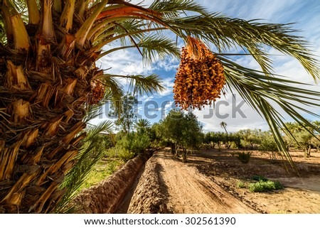 Ripe dates hanging from a palm tree in Palmeraie, Skoura, Morocco - stock photo