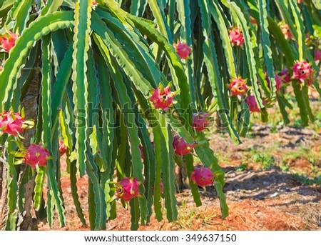 ripe dragon fruit (pitaya, pitahaya) on plantation in Vietnam - stock photo