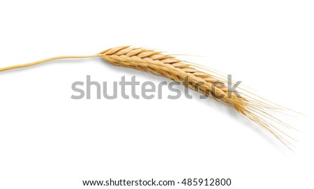 Ripe ear of wheat closeup isolated on white background. Harvest of bread making agricultural business background, natural edible plant