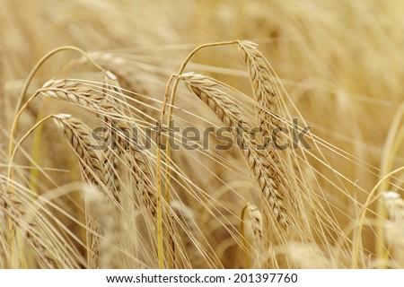 Ripe Eears Of Rye In The Field - stock photo