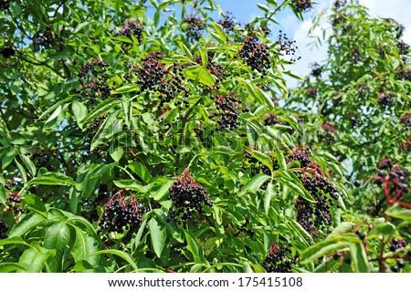 Ripe elderberry on branch against the leaves - stock photo