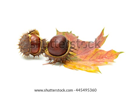 ripe fruit chestnut and maple leaf on a white background. horizontal photo.