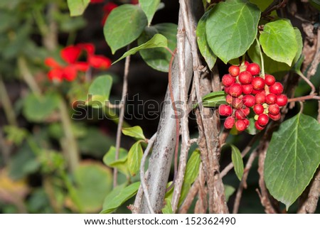 Ripe fruit of Magnolia vine (Schisandra) on the tree