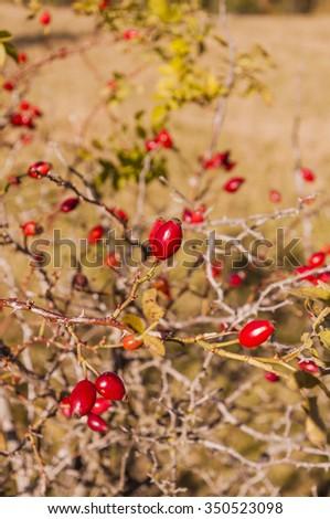 Ripe Fruit of Rosa canina  - stock photo
