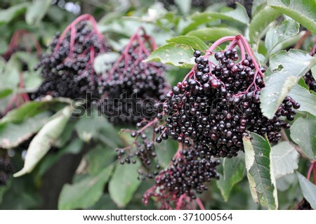 ripe fruit of the elderberry hanging on a tree - stock photo