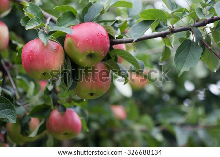 Ripe fruits of apples on a tree branch - stock photo
