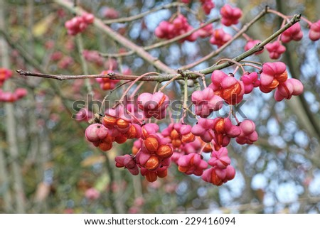 ripe fruits of european spindle - stock photo