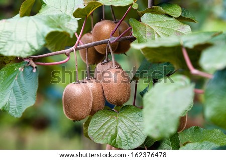 ripe fruits of kiwi plant - organic cultivation in italian orchard of actinidia chinensis - stock photo