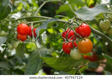 RIpe garden tomato ready for picking - stock photo