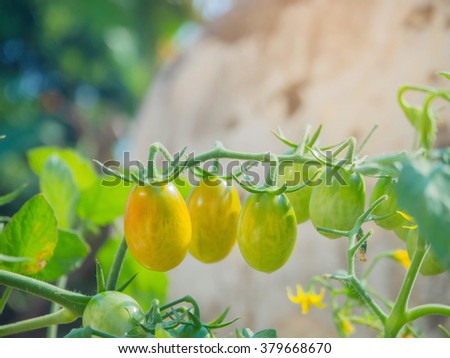 Ripe garden tomatoes ,Green tomatoes in the garden, fresh tomatoes - stock photo