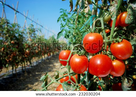 RIpe garden tomatoes ready for picking - stock photo